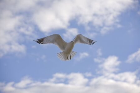 White seagull hovering in flight in front of blue sky with white clouds.