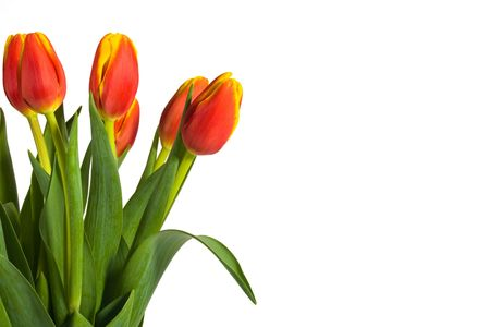 Beautiful red and yellow tulips presented on white background with plenty of room for copy. Stock Photo