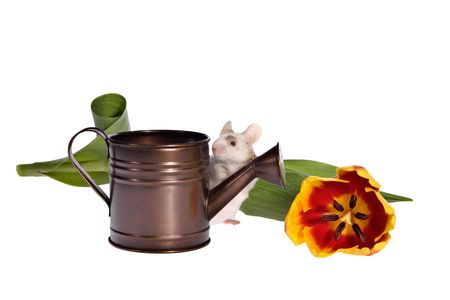 Adorable pet mouse with watering can and colorful tulip presented against white background with lots of copy space. Stock Photo