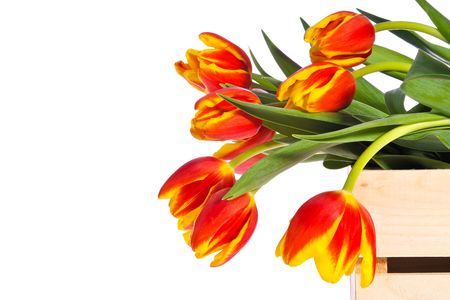 Wooden box filled with lovely red and yellow tulips, presented against white background with ample room for copy.
