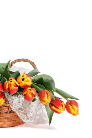 Basket of lovely red and yellow tulips on lace, presented against white background with ample room for copy.
