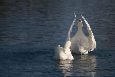 Two white geese swimming on lake.  Wings of one are raised, as in worship.  Plenty of room for copy. Stock Photo
