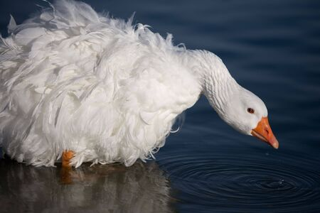 Beautiful white goose with mating plumage drinking water from lake.  Room for copy. Stock Photo