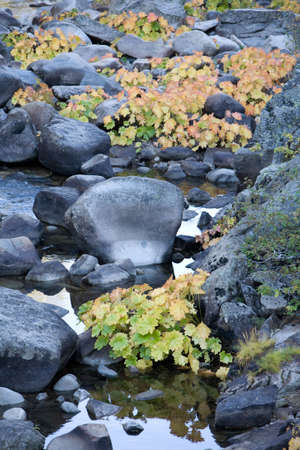 Scattered vines populate the rocks and edges of an alpine stream in Autumn
