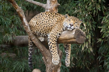 Big, beautiful leopard resting on a tree limb at local zoo.
