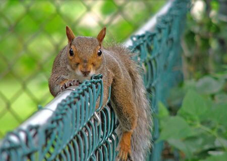 Lazy squirrel on fence Stock Photo