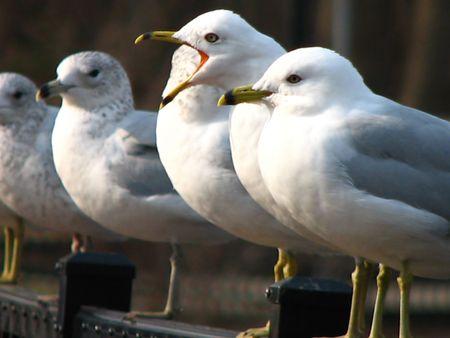 Seagull squawking