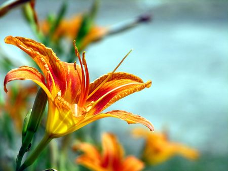 Summer Lily Stock Photo