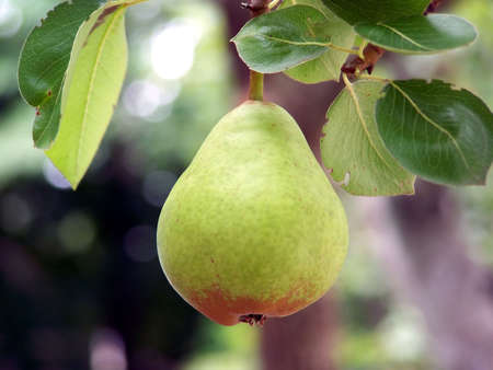 Pear growing on tree close-up