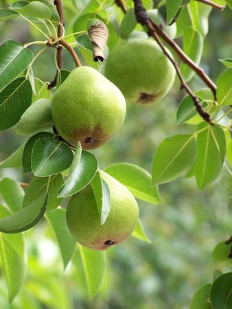 Pears hanging from branch Stock Photo
