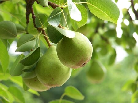 Three pears on a branch, sharpe foreground, shallow Dof Stock Photo
