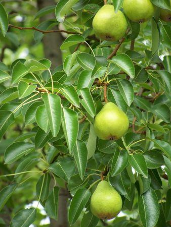 Three Pears in a Row