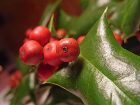 foremost: Extreme close-up of green holly leaf and red berries. Note: Shallow depth of field with focus on foremost berry.