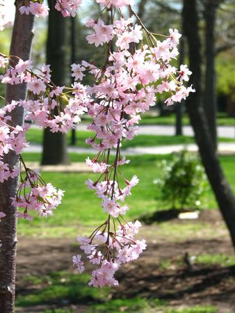 Close view of flowering cherry blossoms in spring with park trees defocused in background. Stock Photo