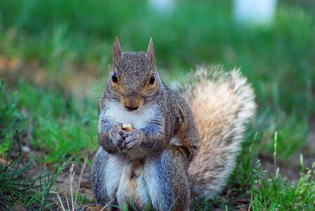 Squirrel eating nut - close up, looking at camera.
