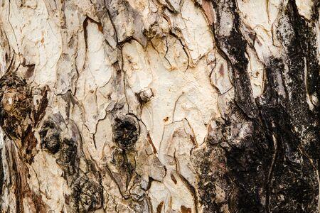 walnut tree: Wood texture of East Indian Walnut tree.