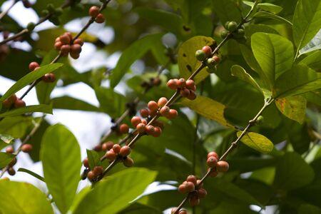 Almost ripe coffee cherries photo