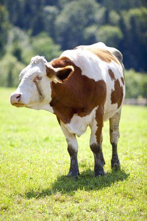 heffer: Cow on meadow