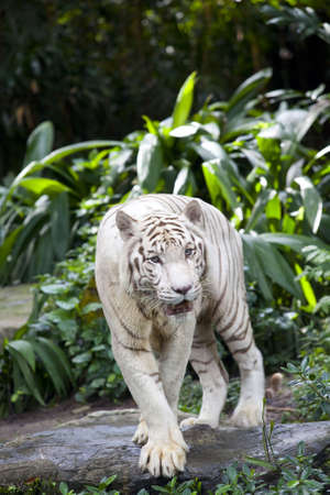 White Tiger guarding Stock Photo - 6169989