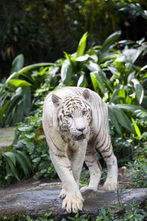 White Tiger guarding Stock Photo - 6169989
