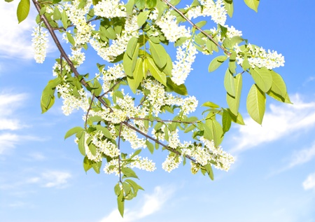 bloom cherry