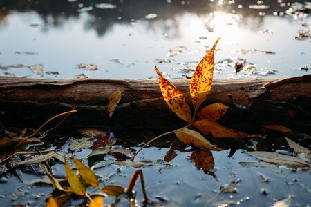 Fallen autumn leaves in water and rainy weather. Fall time. Orange beautiful leaves