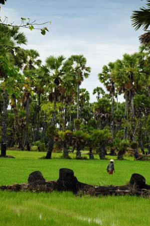 Rice Field and Palm tree photo