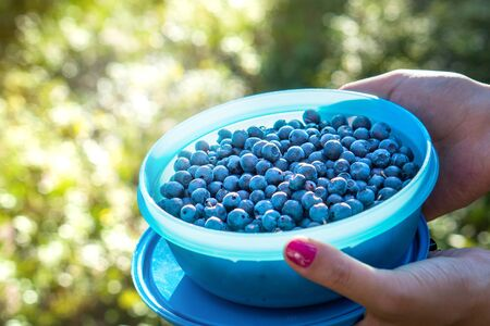 Woman holding blueberries in a casket and container in forest. Blue berries in woods. Woman gathering and picking healthy snack in the nature. Negative copy space.