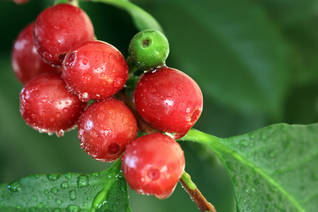 coffee coffee plant: Coffee cherries
