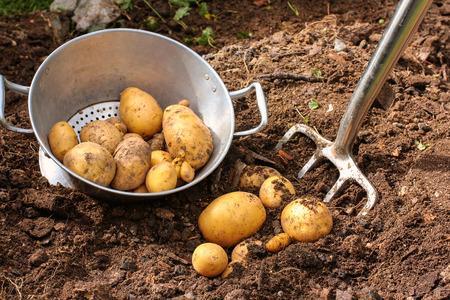 potato field: Colander with potato harvest