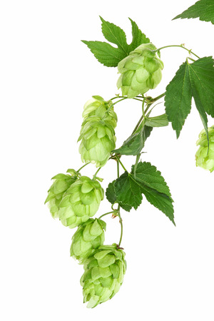 common hop: Twig with hop