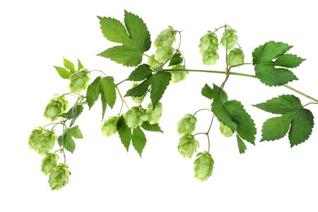 Twig with hop