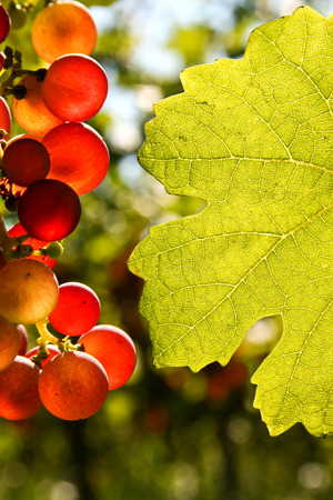 grape harvest: Red grapes and leaf with place for text