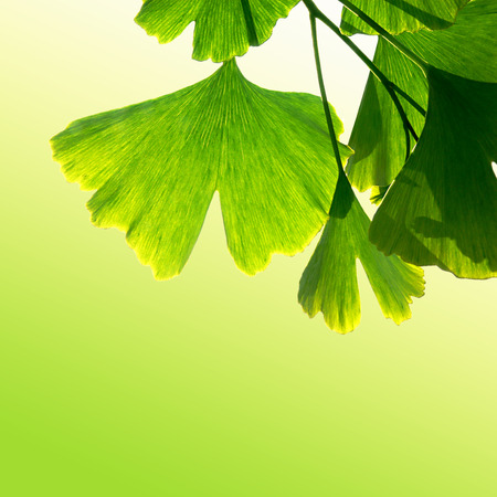 medical herbs: Homeopathy with ginkgo