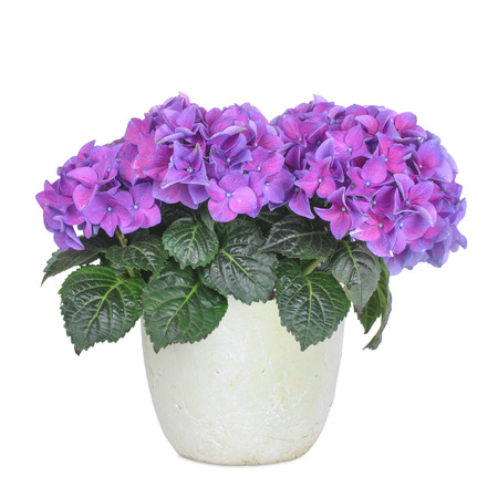 Purple and rose hydrangea, isolated Stockfoto