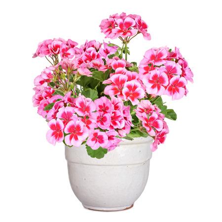 Geranium, isolated 免版税图像 - 32860719