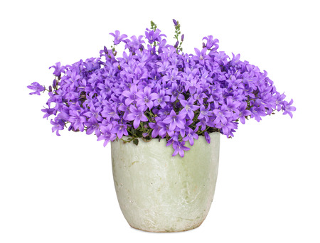 Purple campanula, isolated