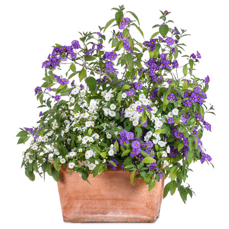 gentian flower: Flowerpot with white and purple solanum