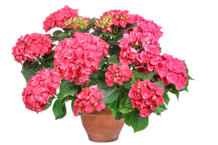 potted plant: Pink hydrangea, isolated