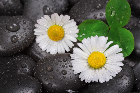 Daisy on wet stones photo