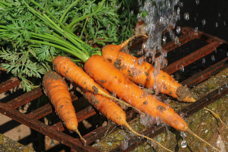Fresh carrots, harvest