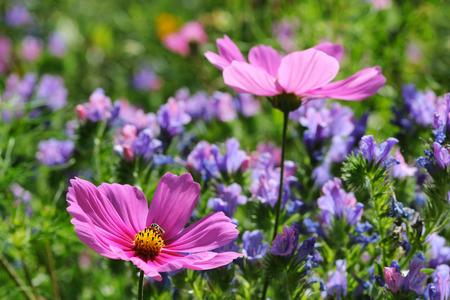 echium: Cosmos and echium meadow