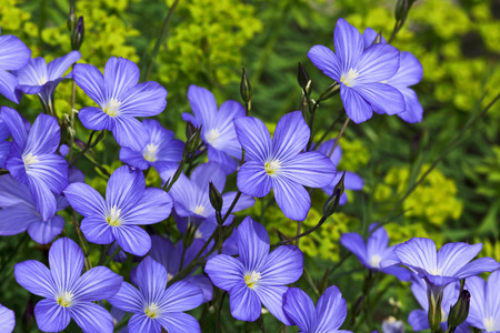 flax seed oil: Linum blossoms, flax