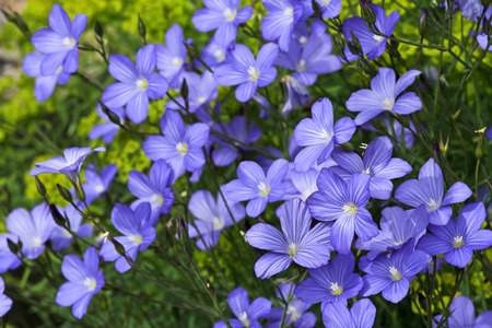 Linum blossoms, flax