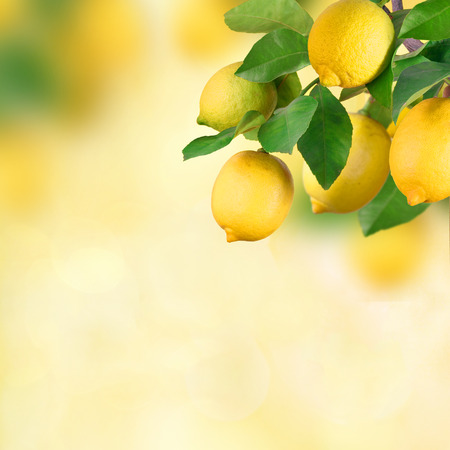 organic lemon: Lemon bunch with space for text