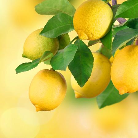 Lemon tree, fruits