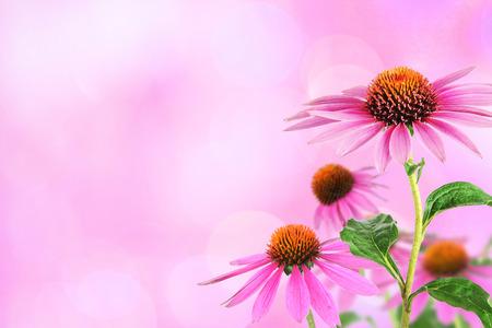 echinacea: Echinacea for homeopathy Stock Photo