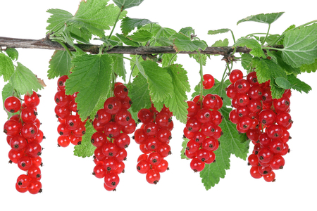 red currants: Red currants, isolated