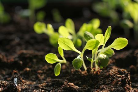 Salad seedlings