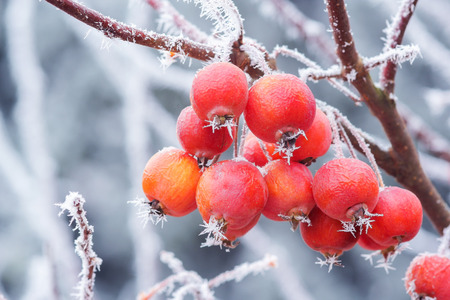 Little apples in winter with ice needles